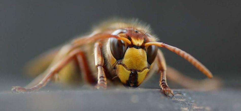 Hornet Hornisse Insekt Makro Makro Photography Macro Macro Photography