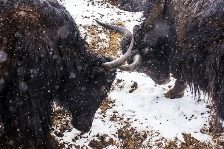 Yaks' Fight
