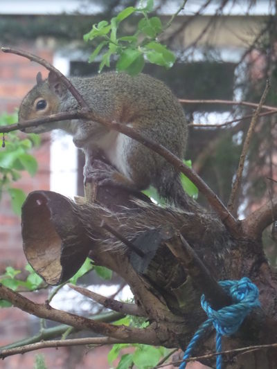Animal Behavior Animal Themes Animals In The Wild Branch Brown Close-up Day No People One Animal One Squirrel. Outdoors Sitting On Branch. Squirrel Squirrel In Tree. Squirrel. Suberban Garden Wildlife