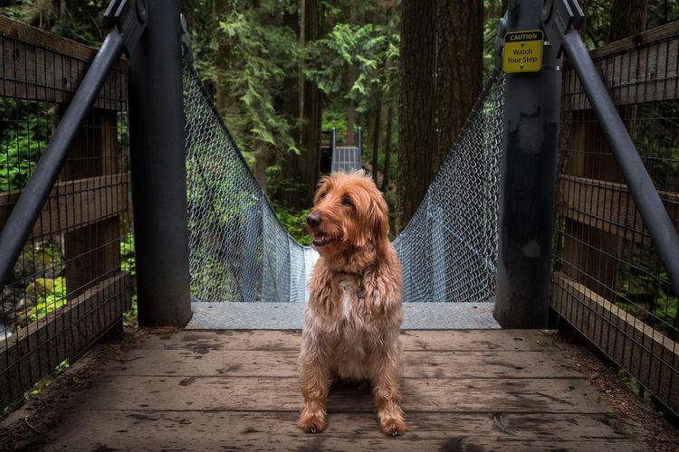 Dog sitting on wooden footbridge in forest
