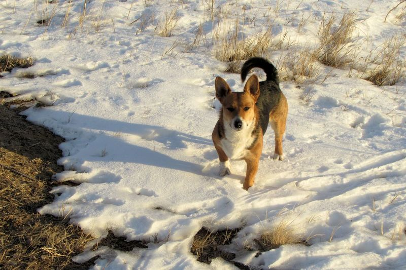 High angle view of pembroke welsh corgi standing on snowy landscape