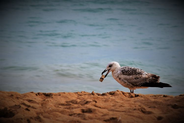 Seagull Carrying Cork While Perching On Shore At Beach