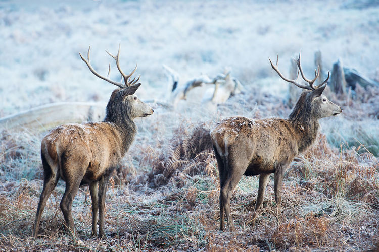 Deers In Frozen Field