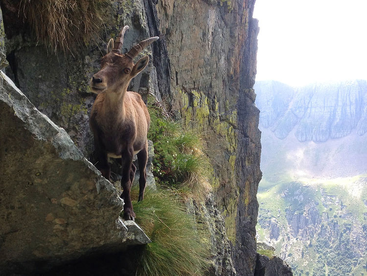 Adventure Alps Animal Themes Animals Animals In The Wild Beauty In Nature Carona Curious Exploration EyeEm Nature Lover Hiking Ibex Italy Mammal Mountain Nature