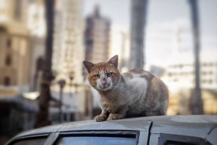 Cats Of Egypt Dirty Street Cat Domestic Cat Egyptian Cat Egyptian Cats One Animal Street Cat Street Cat In Alexandria Street Cat In Alexandria,Egypt Street Cat Of Alexandria,egypt Street Cat On Car Street Cats Street Cats In Alexandria Street Cats In Alexandria,Egypt Cat On Car Roof Cat On Car