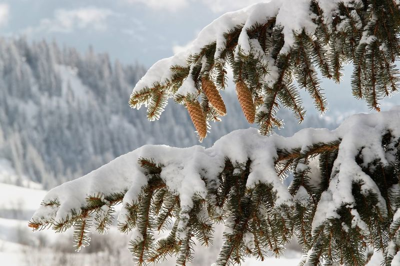 Beauty In Nature Close-up Cloud - Sky Cold Temperature Day Growth Nature Needle - Plant Part No People Outdoors Pinaceae Pine Tree Sky Snow Tranquility Tree Winter