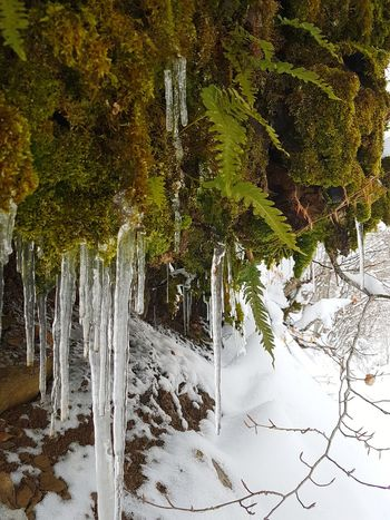 Ice stalactites and Polypodium vulgare No People Outdoors Day Tree Beauty In Nature