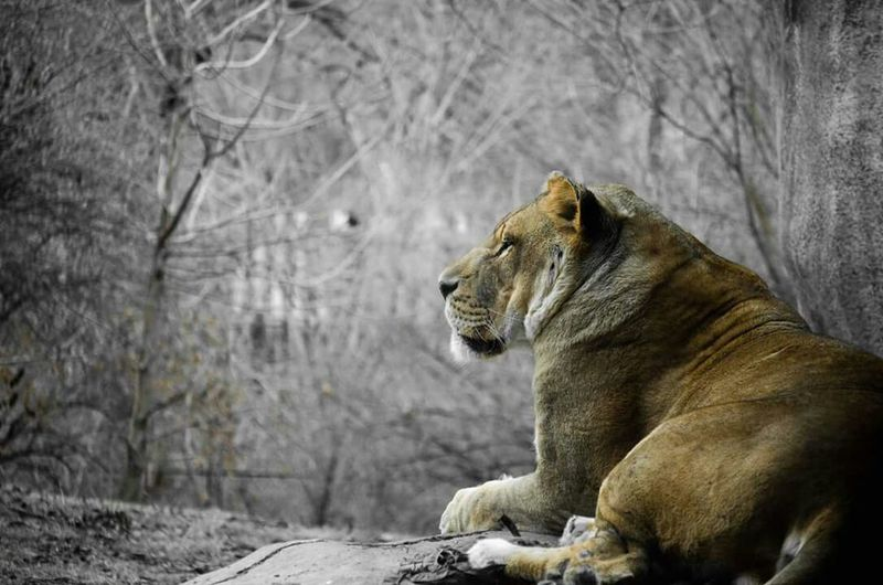 He waits...... Kansas City Kansas City Zoo Lions Family Time A Walk In The Park
