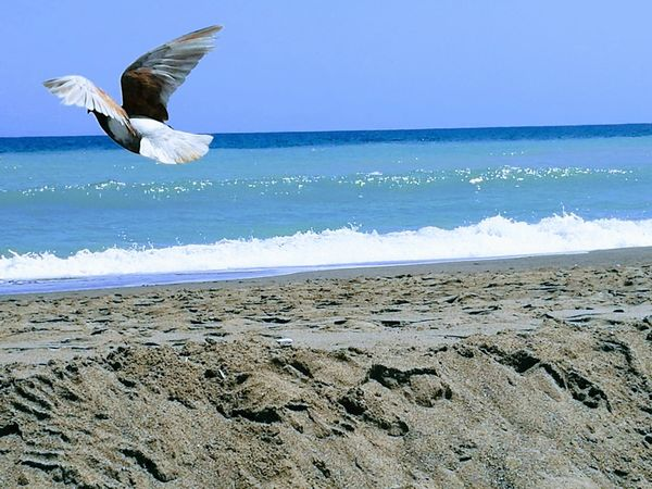 Beach Sea Sand Flying Bird Water Nature Mid-air Day Beauty In Nature One Animal Outdoors Animals In The Wild Clear Sky Sky Seagull Wave Spread Wings No People Horizon Over Water