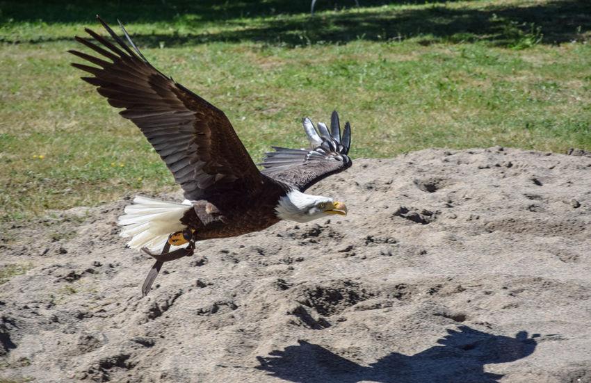 Aigle Pêcheur Animal Head  Animal Themes Bird Nature No People Outdoors Rapace  Wildlife