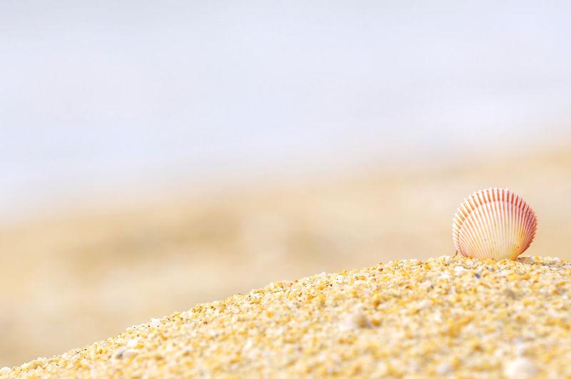 Close-up of seashell on sandy beach
