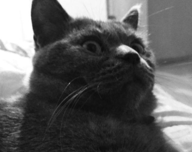 Cat Britishshorthair