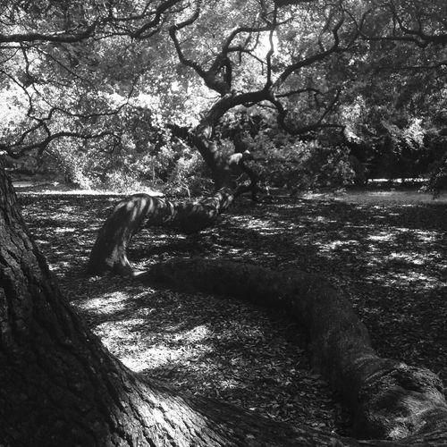 Open Edit Travel Charleston South Carolina Blackandwhite Tree Nature IPhoneography History EyeEm Nature Lover Nature_collection