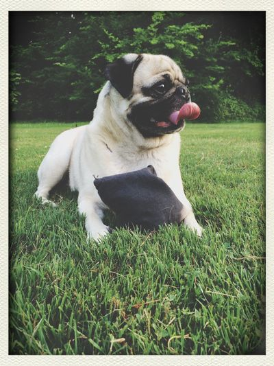 My Pug loves to play Cornhole Cute Pets