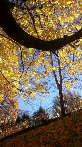 Tree Nature Sunlight Yellow Low Angle View Beauty In Nature Autumn Branch Sky Backgrounds Colors And Textures Of Nature Autumn Leaf 🍂 CityWalk Looking Around ♥ Looking Up!