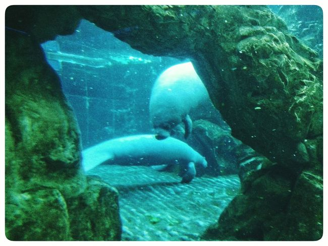 Manatees cave at Acquario Di Genova Underwater Animal Themes Swimming UnderSea Water Nature Aquarium Indoors  Underwater Diving Sea Life Mammal Low Section Smartphone Photography Note 2