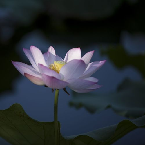 Flower Head Flower Water Lotus Water Lily Lake Water Lily Petal Leaf Pink Color Close-up