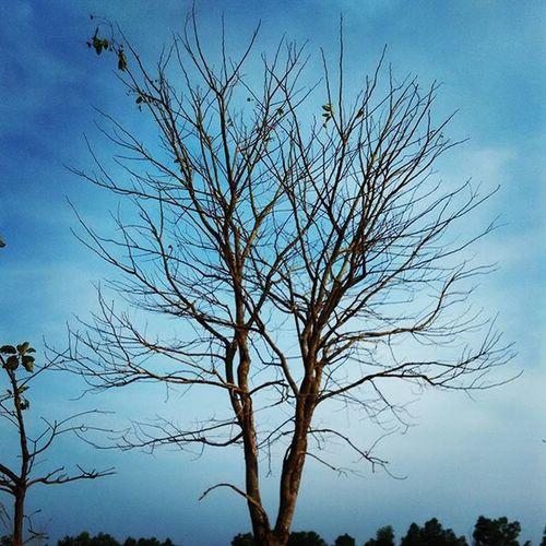 Xiaomipics Xiaomiclick_id Redmi1s Nature Sky Tree Tree_captures Beautiful Crazynature Skyblue Bluesky Blue Naturephotography Tree_magic Trees Skeleton