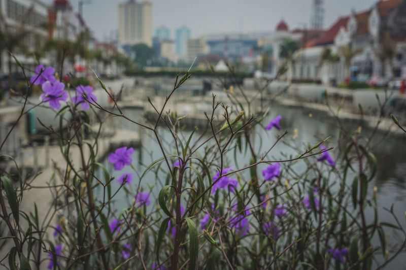 Close-up of purple flowering plant by buildings in city