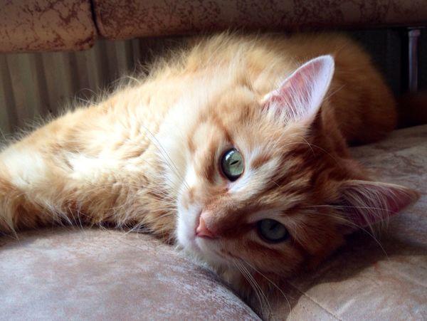 Cat Áfonya Афоня рыжий кот Afonsiko Cats Cat♡ Cats 🐱 Cat Lovers кот Cats Of EyeEm Котик Коты котэ