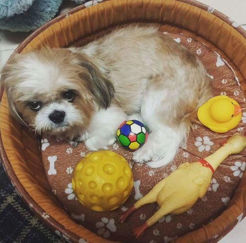 Angrydog Moodyface! Lovemelovemydog Pet Shih Tzu Looking At Camera Mylivingcompanion