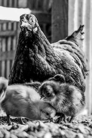 Barn Barnyard Black & White Black And White Chick Chickens Farm Farm Life Feathers Poultry Texas