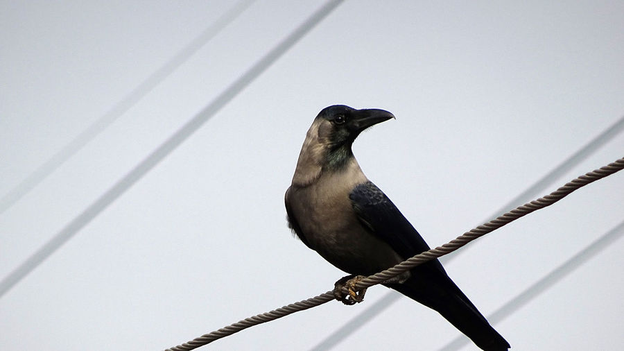 Neighbourhood Birds Animal Themes Animal Wildlife Animals In The Wild Bird Bird In City Bird On Wire Bird Photography Blackbird Cable Clear Sky Close-up Crow Day EyeEmNewHere Low Angle View Nature No People One Animal Outdoors Perching Rakeshtiwari Raven - Bird Wildlife & Nature Wildlife Photography