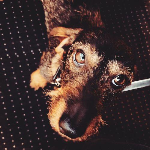 dackelblick Dackel Dachshund Dog Looking At Camera Little Sausage EyeEm Selects One Animal Portrait Close-up Looking At Camera Pets No People Indoors  Animal Themes Mammal