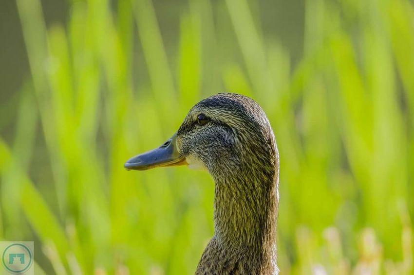 Duck Wildlife Nature