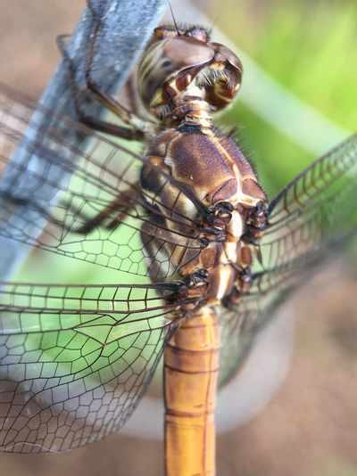 Macroinsects Dragonfly Macro Photography Nature Photography