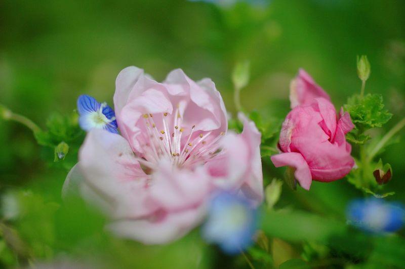 昼メシ何食べる?  Learn & Shoot: Balancing Elements Airy Colors EyeEm Nature Lover Spring 春 Spring Colours Spring Time Blue Flowers Macro Nature Bokeh 桜 Pink Sakura Cherry Blossoms