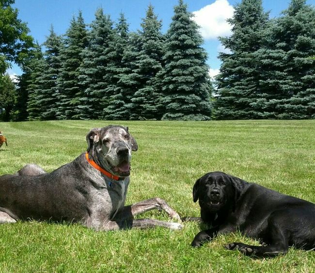 Happy Couple Dogs Dog❤ Happy Couple Great Dane Black Lab Trees Grass Animal_collection Animal Photography