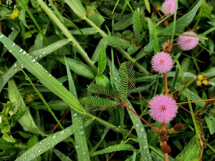 Mimosa (Makahiya) Green Color Plant Nature Growth Leaf Flower Outdoors Fragility Beauty In Nature Close-up Freshness Flower Head No People Day EyeEm Backgrounds Grass Greenland