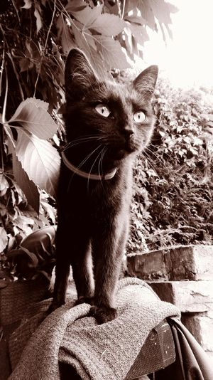 Taking Photos Check This Out Cheese! Hi! Hello World Yennefer Monochrome Sepia Catslife Cat Eyes Cat♡ Black Cat Love My Cat Cat Of The Day Cats Of EyeEm In My Garden