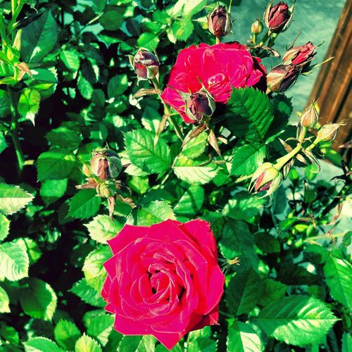 Welcome To Spring Red Rose Nature Happy :) bahar geldi cicekler acti :))