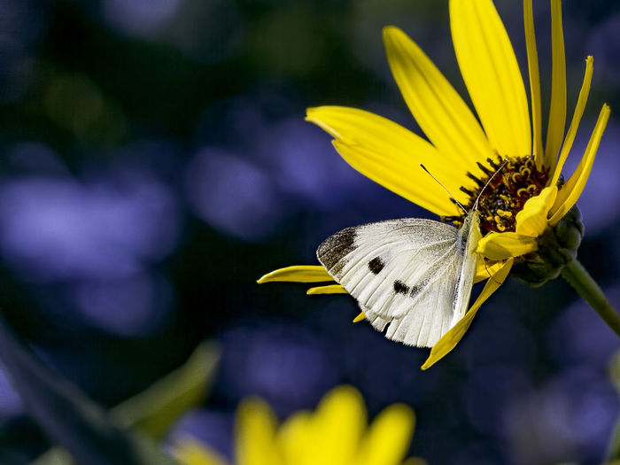 A white cabbage butterfly pollinating a yellow flower. White Cabbae Butterfly Insect Wings Nature Flowering Plant Fragility Vulnerability  Petal Beauty In Nature Freshness Yellow Flower Head Animal Wildlife Animals In The Wild Close-up Pollen Pollination Outdoors Animal Wing Macro Flower Plant