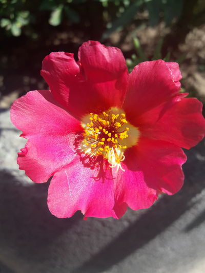 Flower Petal Nature Flower Head Plant Fragility Beauty In Nature Yellow No People Pink Color Peony  Poppy Red Close-up Day Outdoors Freshness