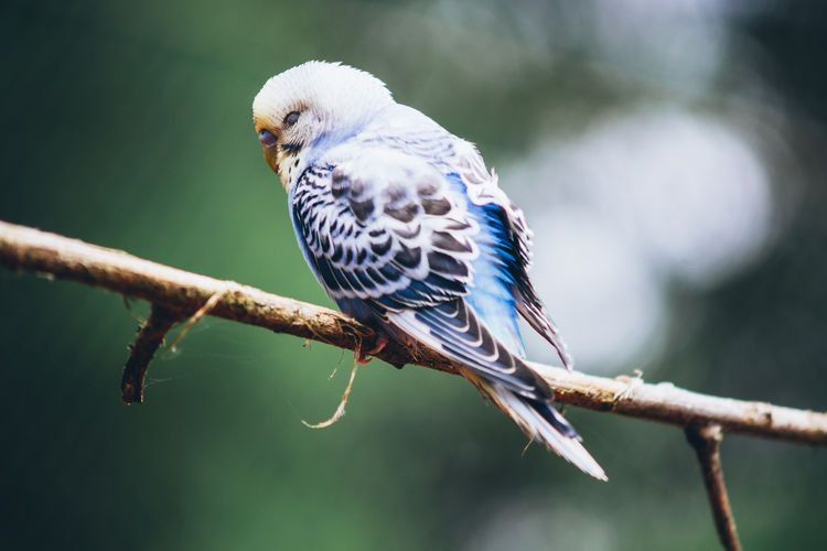 Close-up of budgerigar perching on branch