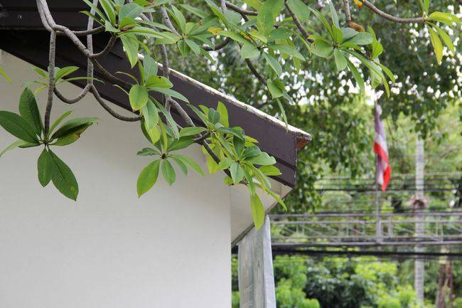 Architecture Branch Chiangmai,Thailand Close-up Day Freshness Green Color Growth Hanging Leaf Nature No People Outdoors Plant Tree