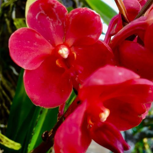 Orchid, Red Orchid 蘭、赤い蘭 Flower Petal Growth Beauty In Nature Nature Fragility Plant
