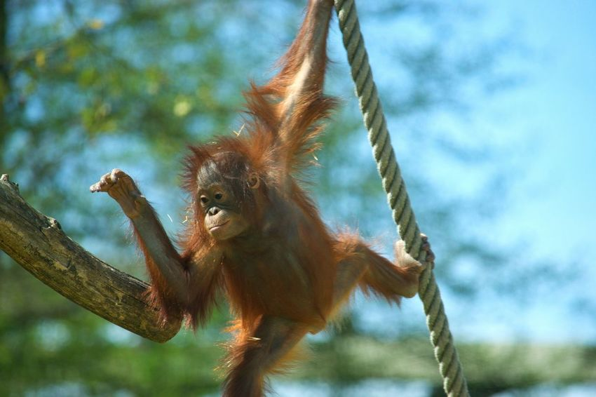 Animal Wildlife Animal One Animal Monkey Nature Beauty In Nature Zoo De Beauval Zoophotography Zoo Primate Singe Orangoutan Orangutan Animal Themes à Beauval
