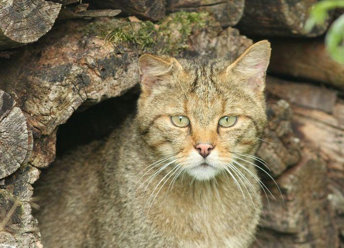 Wild cat One