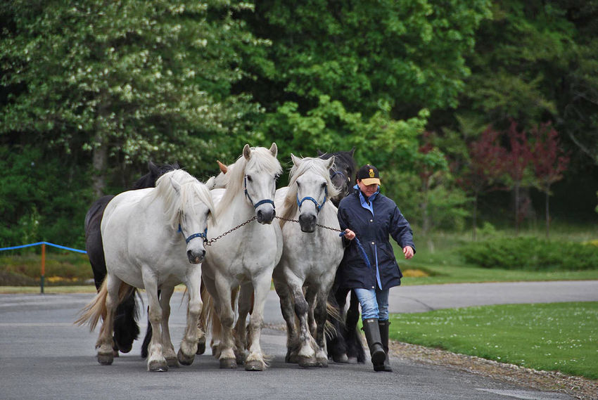 The Queens shire horses - Balmoral Castle, Royal Deeside, Scotland, UK The Queen is currently patron of the British Horse Society, the Fell Pony Society, the Highland Pony Society, the Shire Horse Society, the Welsh Pony and Cob Society and the Thoroughbred Breeders' Association. Balmoral Castle The Queen White Horses Casual Clothing Day Domestic Domestic Animals Full Length Group Of Animals Herbivorous Lifestyles Livestock Mammal One Person Outdoors Pets Plant Real People Road Shire Horses Transportation Tree Vertebrate