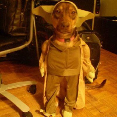 Cutestshit mexi puppy Yoda