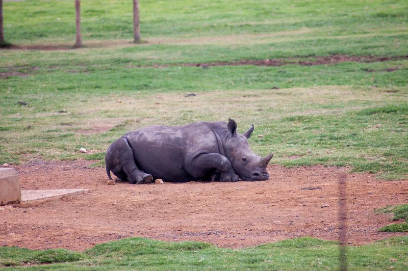 Rhinos in