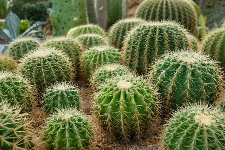 Arid Climate Barrel Cactus Beauty In Nature Cactus Climate Close-up Communication Day Ecosystem  Field Full Frame Green Color Growth Nature No People Outdoors Plant Sharp Sign Spiked Spiky Succulent Plant Thorn Warning Sign