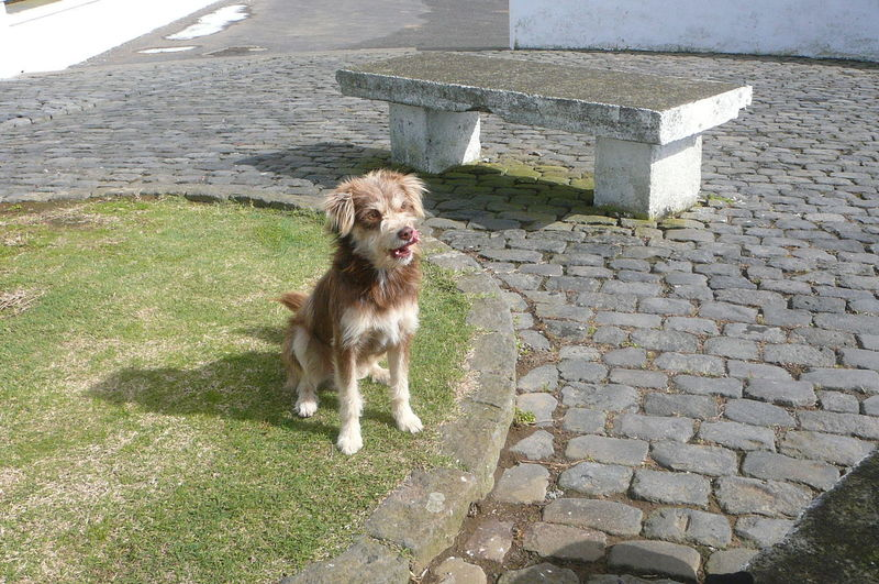 A Bite of Your Ham&Cheese Please - stray at Vigia Da Baleia, Sao Miguel Animal Themes Dog Friendly Faces Hungry! Lost Dog Loveable No People Stray Dog Puppy Begging Licking Lips Scruffy Soft Fur Brown