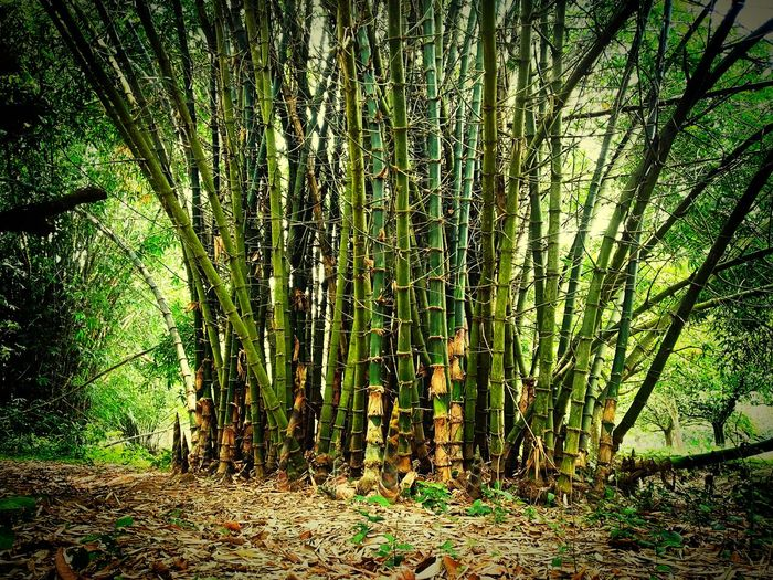 Bambootree Bamboo Forest Bamboo - Plant Bamboo Art Bamboo Park Bamboo Background Bamboo PhotogrAphy Tree Backgrounds Full Frame Pattern Close-up Blooming