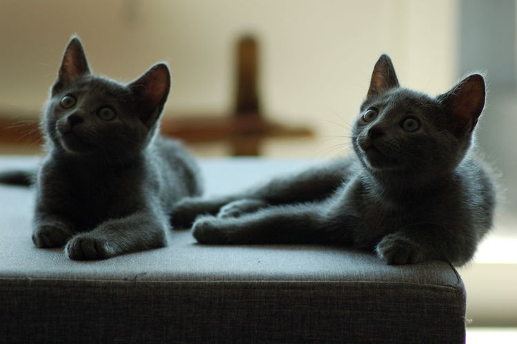 Hanging Out Relaxing Enjoying Life Animal Themes Cat No People Animal Cats Chilling Pets Petal Twins Brothers Russian Blue Cat Russischblau