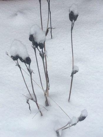 Roses snow Alaska